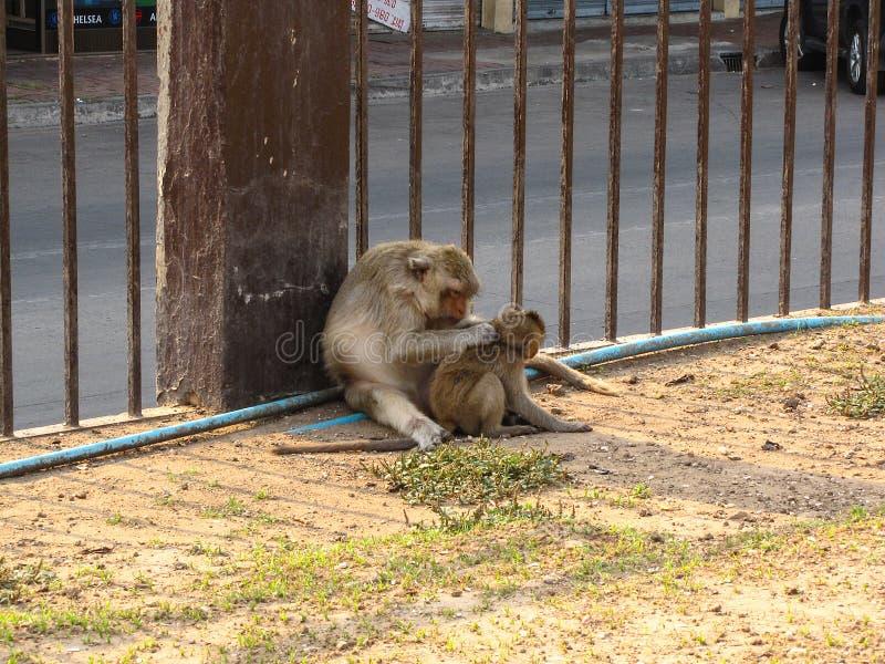 Le singe porte un bébé dans Phra esquintent Sam Yod photos stock