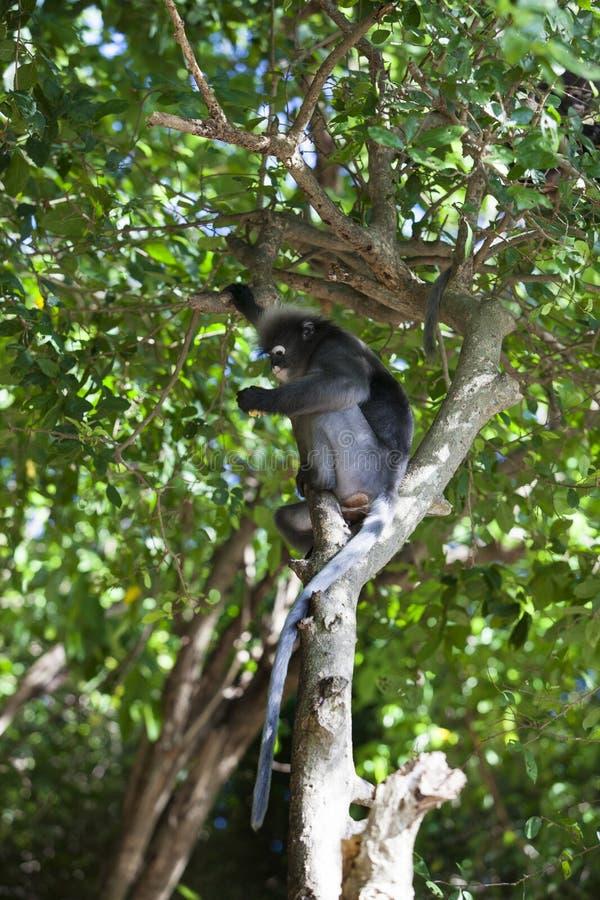 Le singe sombre de feuille, le langur à lunettes, ou la feuille à lunettes lundi photos stock
