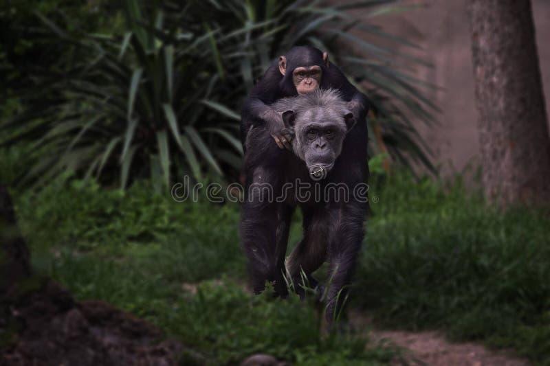 Le singe voient le singe faire images stock
