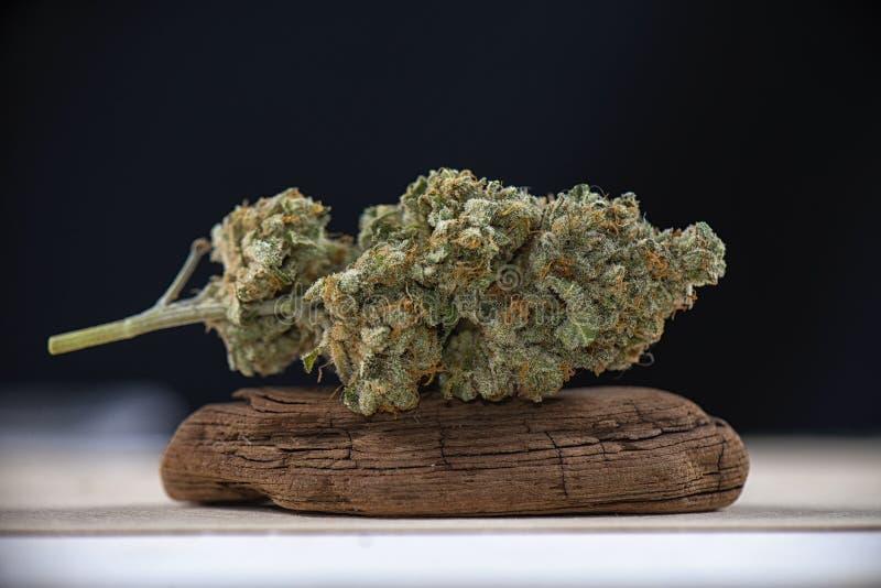 Le singole cannabis germogliano la razza della marijuana del mangolope sul backgro scuro fotografia stock libera da diritti