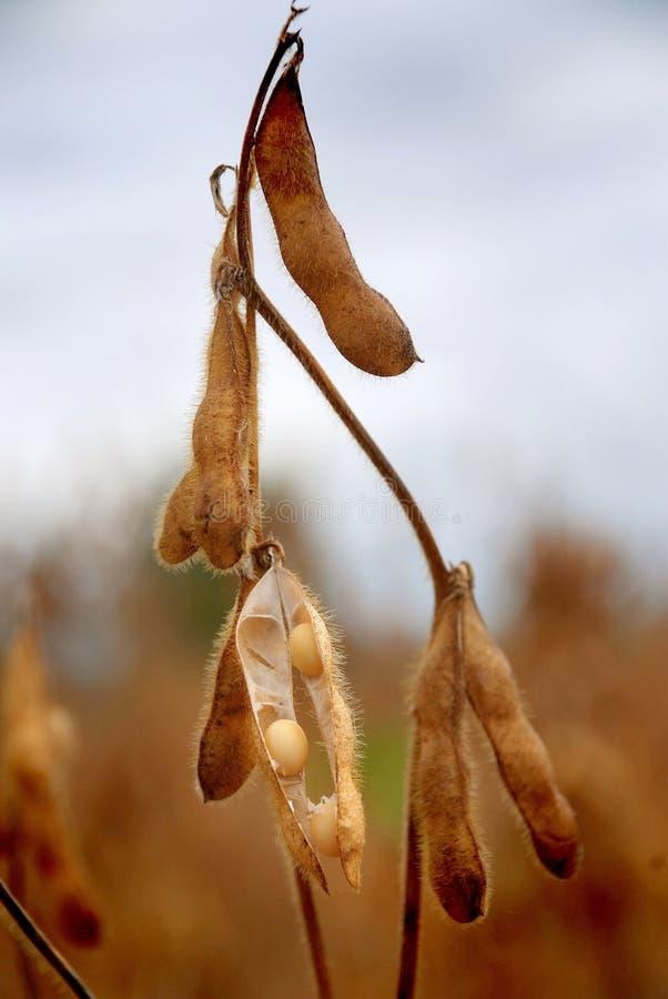 le soja prêt de cosse de moisson de zone à photographie stock libre de droits