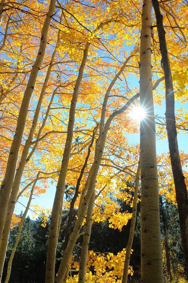 Le soleil éclate par derrière un tronc d'arbre de bouleau photographie stock