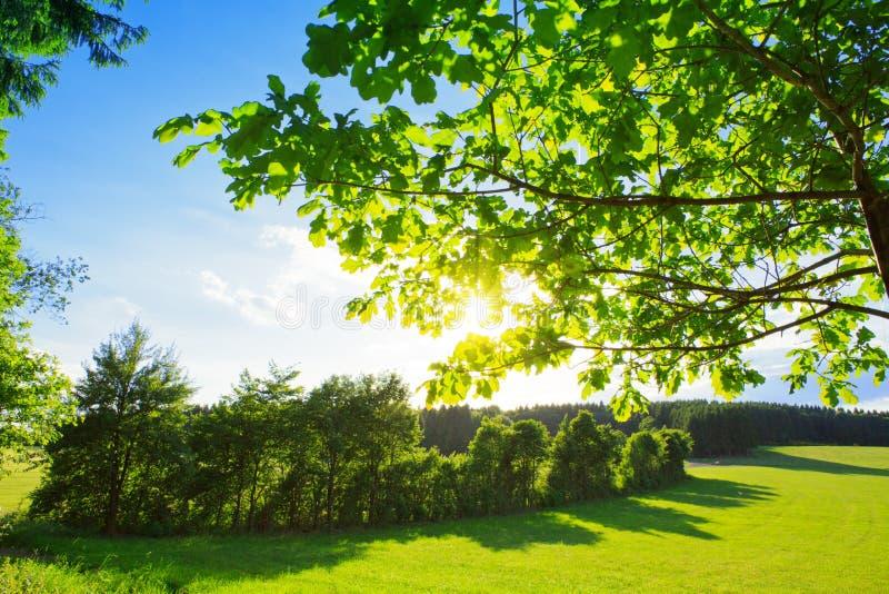 Le soleil brillant par un arbre vert majestueux images stock