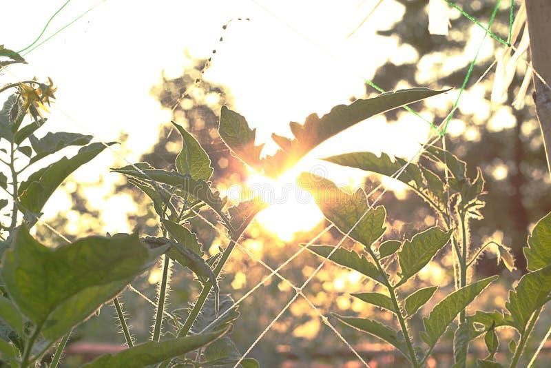 Le soleil brille et l'usine croissante dans la ferme photographie stock