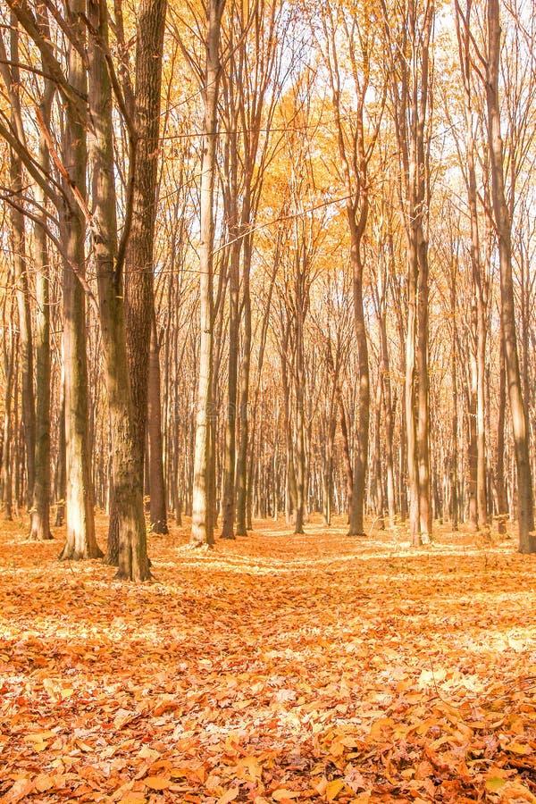 le soleil brille par les arbres sur la route dans un paysage d'or de forêt pendant la saison d'automne image libre de droits