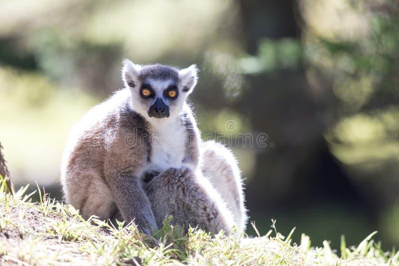 le soleil contagieux Anneau-coupé la queue de matin de catta de lémur de lémur images stock