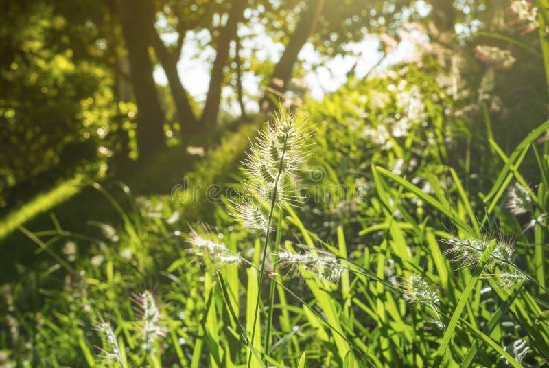 Le soleil d'or au-dessus d'un gisement de fleur photos stock