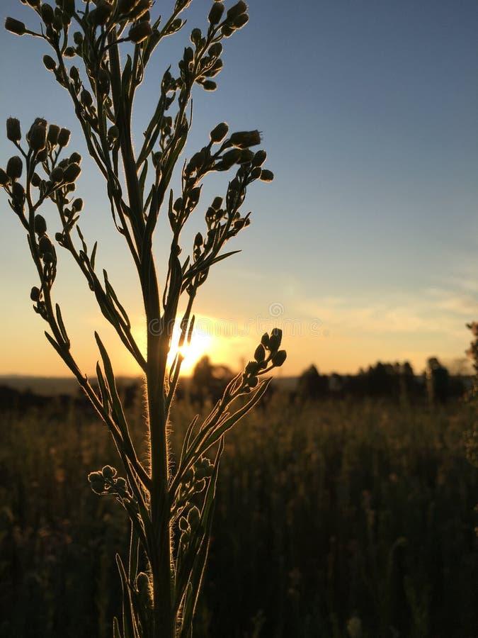 Le soleil d'herbe photos libres de droits