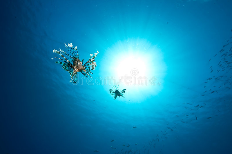 le soleil d'océan de lionfish photo stock