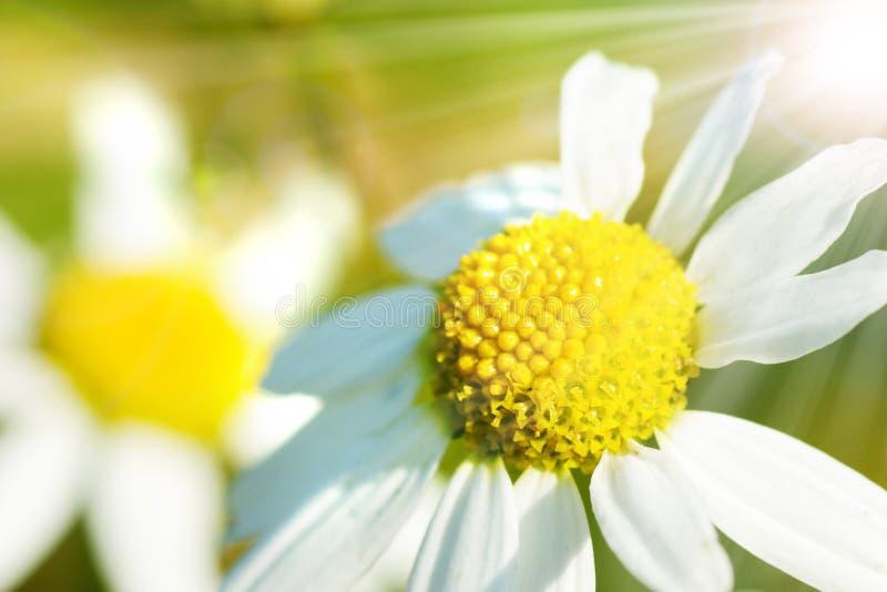 Le soleil de camomille au printemps photographie stock libre de droits