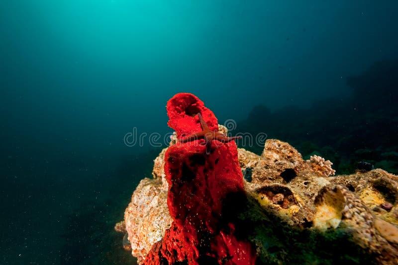 le soleil de corail d'étoile de mer d'océan photo stock