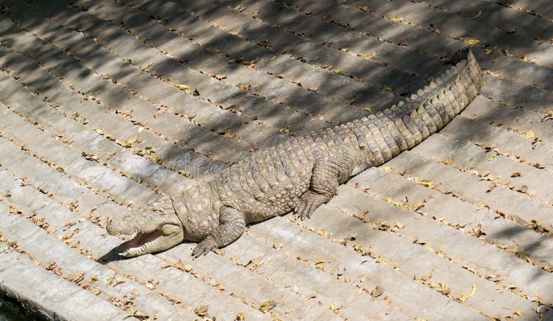Le soleil de crocodile d'agresseur se dorant avec la bouche ouverte photo libre de droits