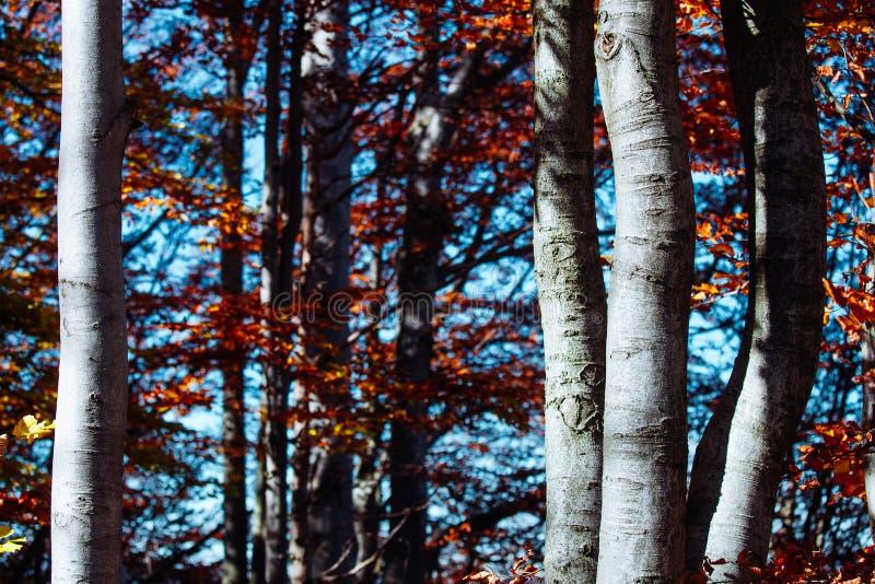 Le soleil de forêt de lever de soleil de feuilles d'automne de Carpathiens de montagnes de nature laisse aux rayons jaunes de cie photos stock