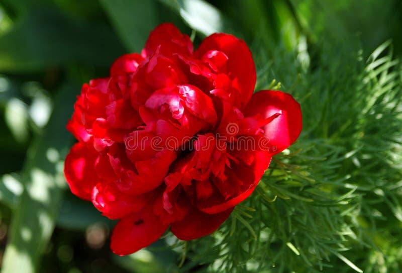 Le soleil de mai a fait la pivoine découvrir les pétales rouges luxueux photographie stock