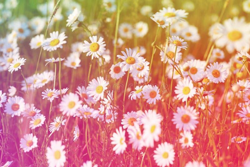 Le soleil de pré de ressort - camomille Zone des fleurs de marguerite photographie stock