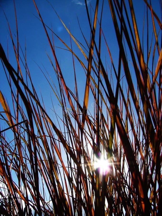 Le soleil par l'herbe image stock