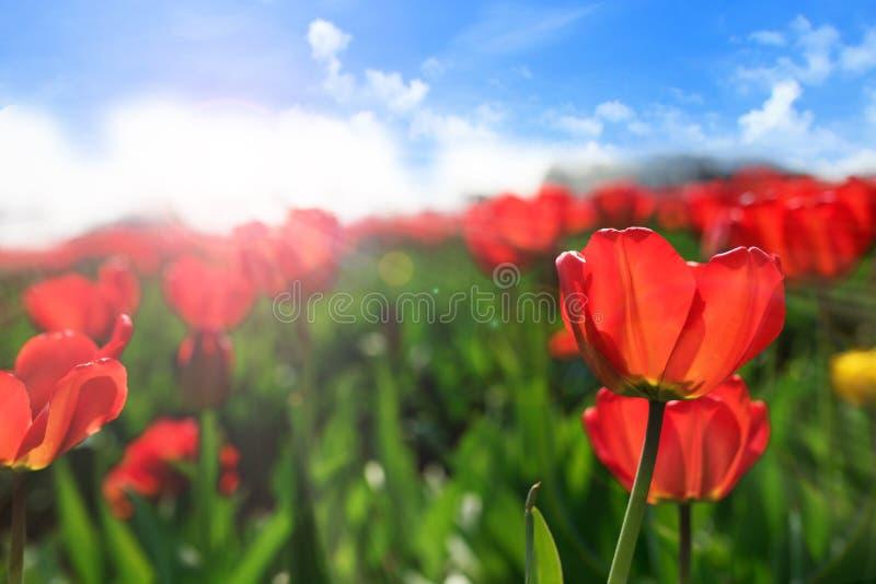 Le soleil rouge de tulipes au printemps images stock