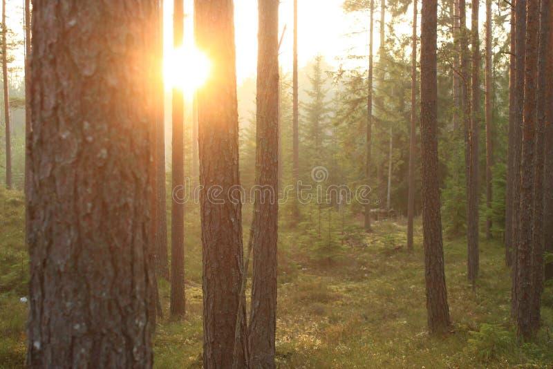 Le soleil rougeoyant parmi les arbres Forêt de pin en Lettonie Après-midi ensoleillé en hiver en retard photos stock
