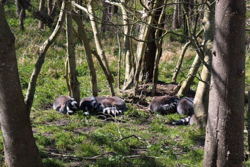 Le sommeil de Ring Tailed Lemur images stock