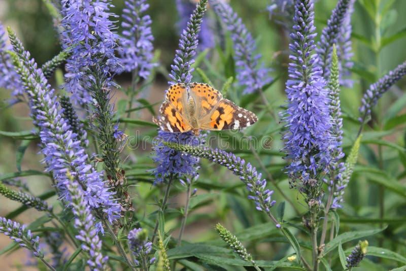 Le spicata de Veronica, papillon se repose sur une fleur image stock