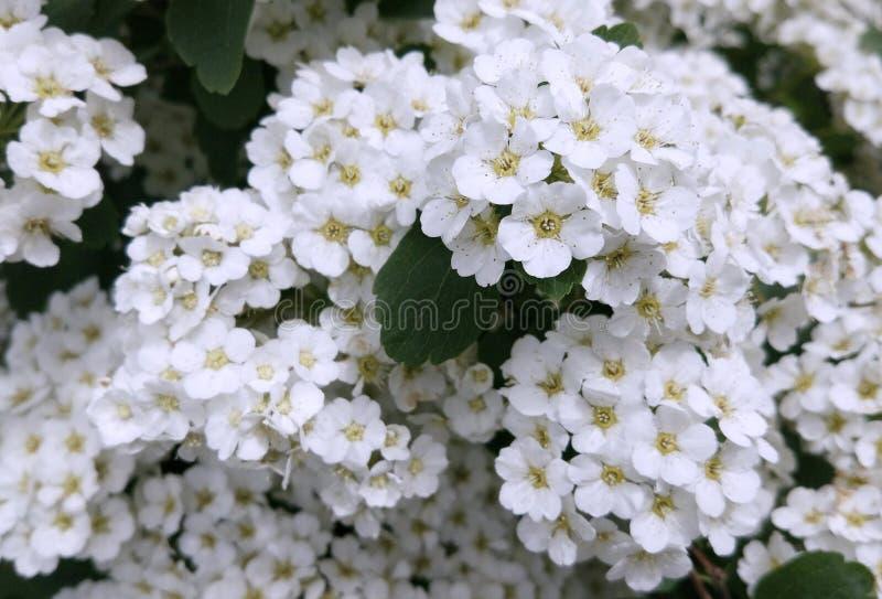 Le spirea blanc fleurit la photo photo stock