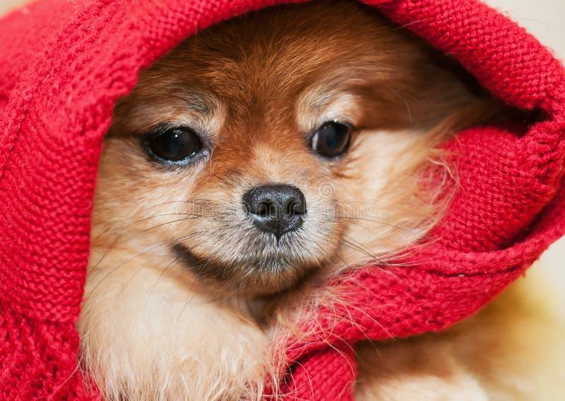 Le spitz-chien de Pomeranian dans une écharpe rouge photographie stock libre de droits