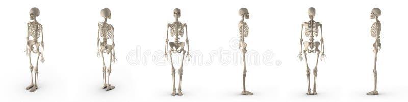 Le squelette femelle précis médical rend l'ensemble de différents angles sur un blanc illustration 3D illustration stock