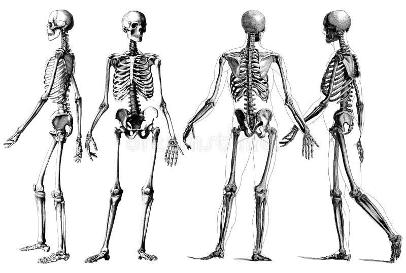 Le squelette humain illustration stock