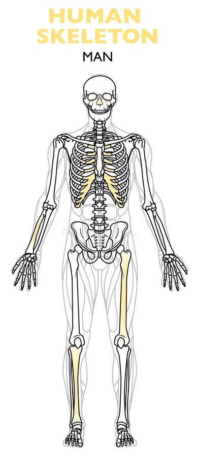 Le squelette humain, le squelette humain est le cadre interne du corps, anatomie d'homme illustration libre de droits