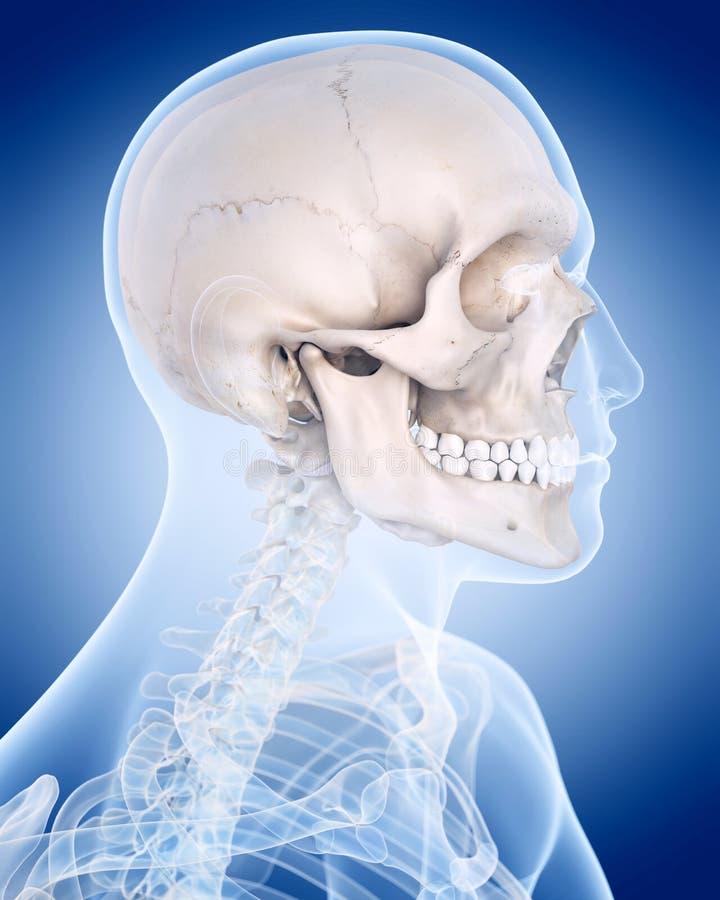 Le squelette humain - le crâne illustration libre de droits