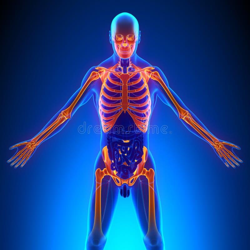 Le squelette supérieur désosse l'anatomie illustration de vecteur
