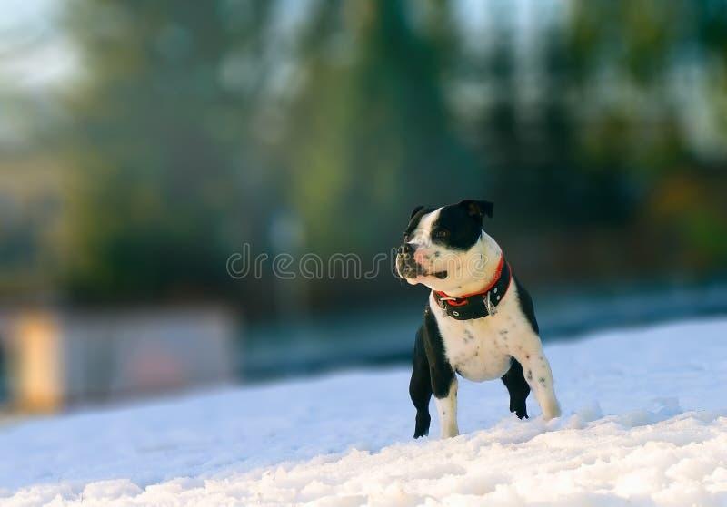 Le Staffordshire bullterier dans le jour ensoleillé d'hiver photographie stock