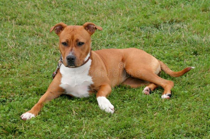 Le Staffordshire Terrier américain images libres de droits