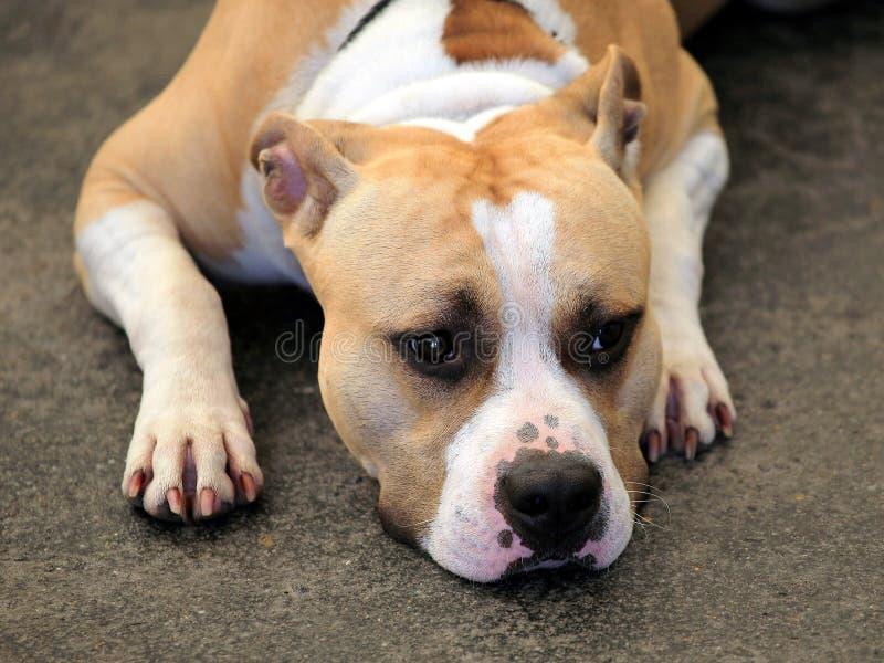 Le Staffordshire Terrier américain photo stock