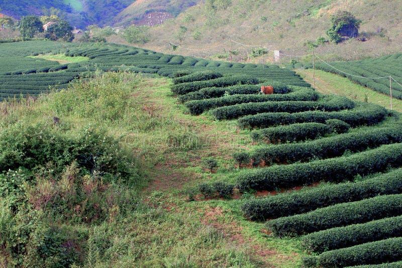 Le strisce del tè sulla piantagione di tè immagine stock libera da diritti