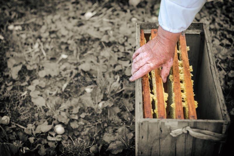 Le strutture del miele sono inserite nella scatola, processo di ottenere il miele, concezione immagini stock libere da diritti
