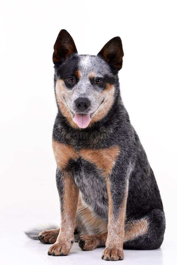 Le studio a tiré d'un chien australien adorable de bétail photographie stock