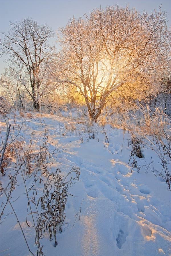 Le sun& x27 ; rayons de s par des branches d'arbre en hiver photos stock