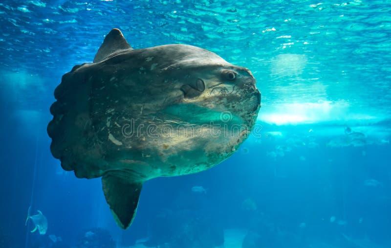 Le sunfish d'océan ou le mola commun (mola de Mola) à Lisbonne Oceanarium au Portugal images stock