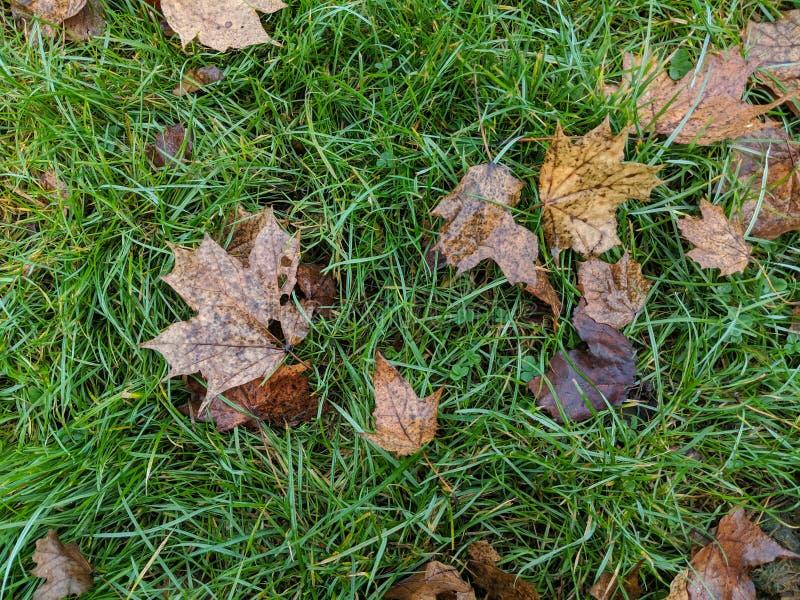 Le sycomore part sur l'herbe photos stock