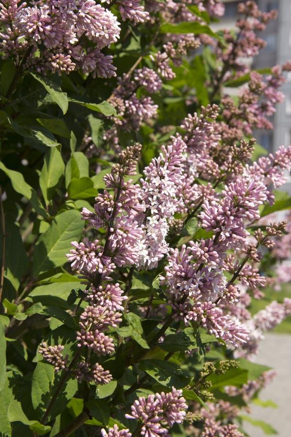 Le Syringa est un genre des arbustes appartenant à la famille d'Oleaceae Arbuste luxueux, extrêmement robuste, qui se développe b images stock