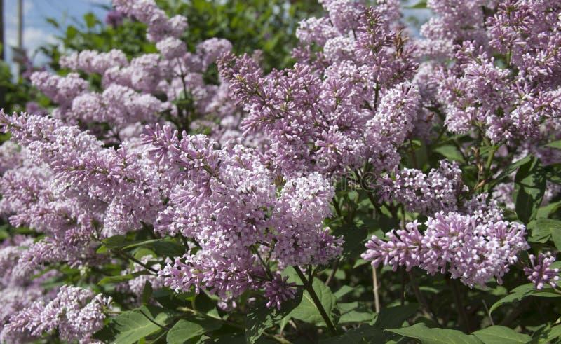 Le Syringa est un genre des arbustes appartenant à la famille d'Oleaceae image stock