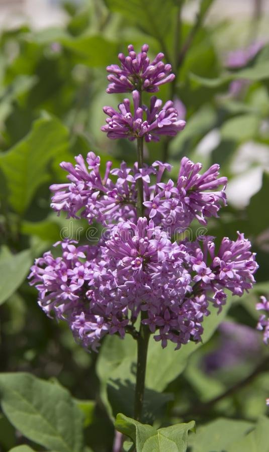 Le Syringa est un genre des arbustes appartenant à la famille d'Oleaceae images stock