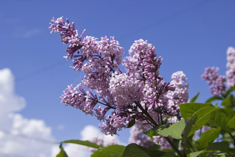 Le Syringa est un genre des arbustes appartenant à la famille d'Oleaceae photos libres de droits