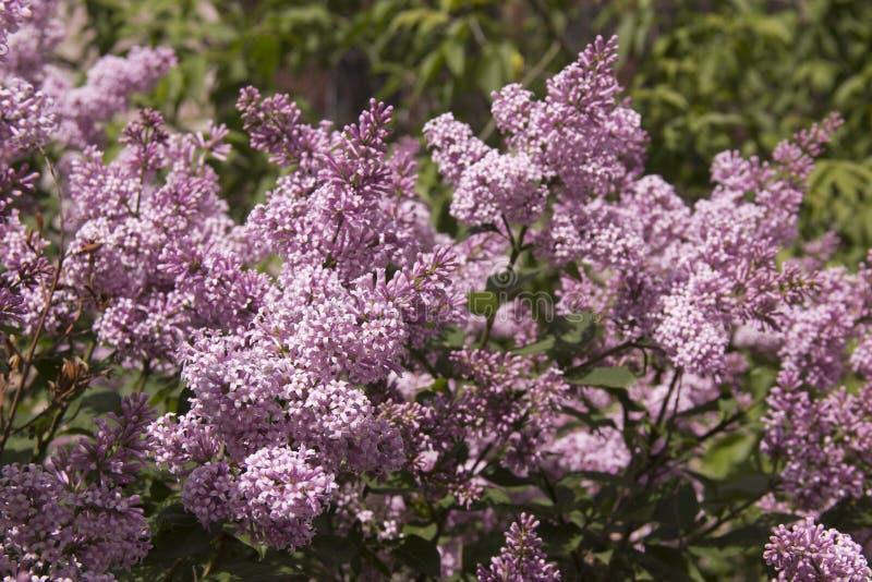 Le Syringa est un genre des arbustes appartenant à la famille d'Oleaceae image libre de droits