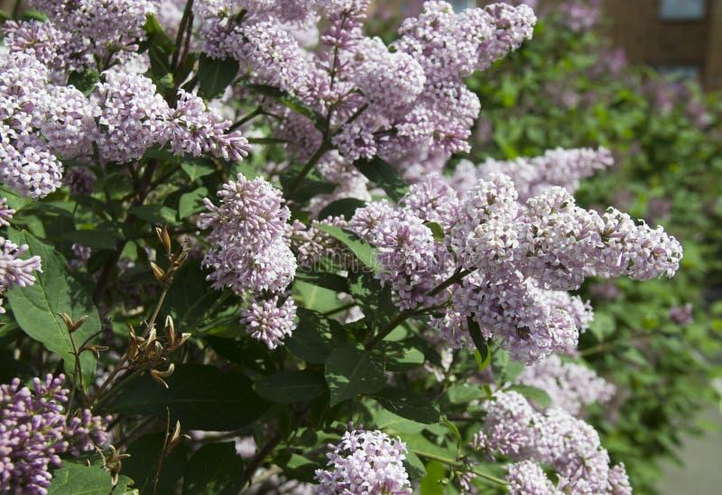 Le Syringa est un genre des arbustes appartenant à la famille d'Oleaceae photos stock