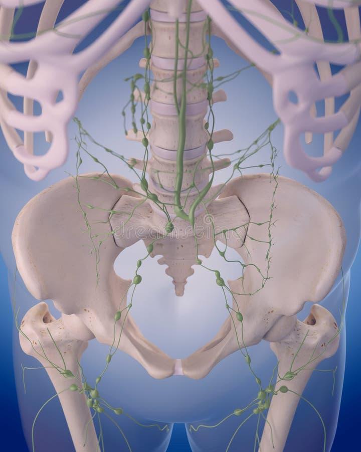 Le système lymphatique - l'abdomen illustration stock