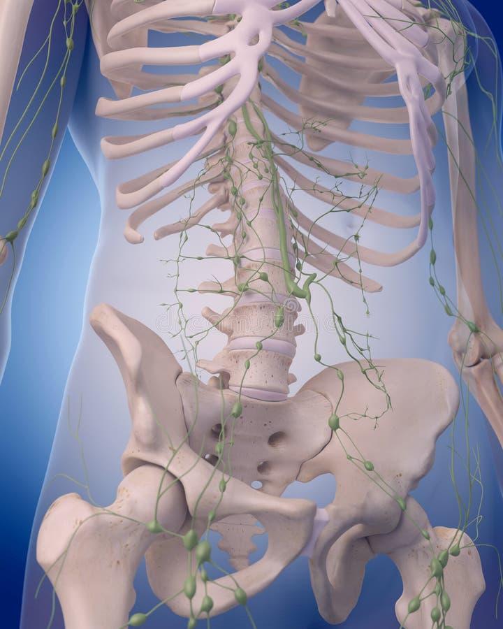 Le système lymphatique - l'abdomen illustration de vecteur