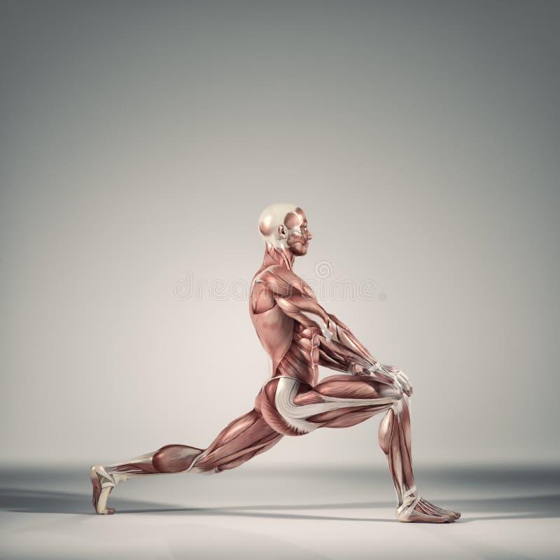 Le système musculaire illustration libre de droits