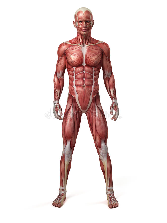 Le système musculaire masculin illustration de vecteur